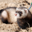 Stock Photo: Walking with ferret