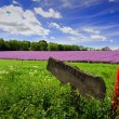 Violet field of flowers on Bornholm island, Denmark — Stock Photo