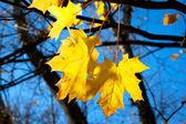 Orange autumn leafs — Stock Photo