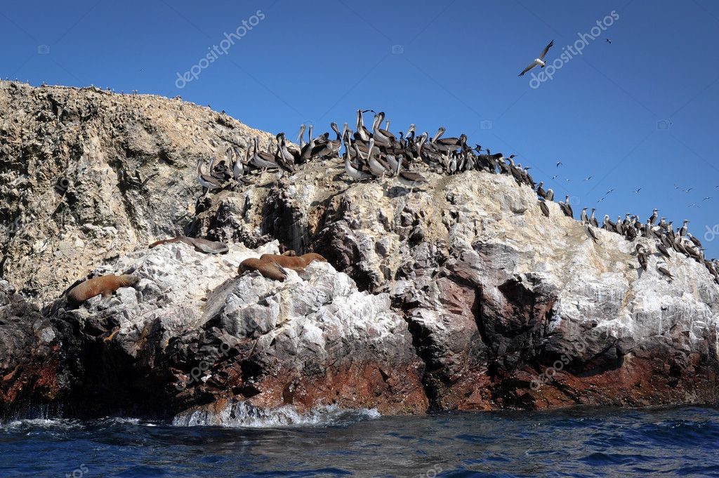 Sea lions on Paracas island, Peru, South America — Stock Photo #4166421