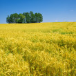 Corn field in summer time — Stock Photo