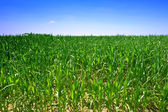 Ecological green corn field — Stock Photo