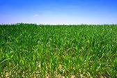 Campo de maíz verde ecológico — Foto de Stock