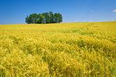 Campo di grano nel periodo estivo — Foto Stock