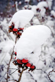 Red berries covered with snow in garden — Stock Photo