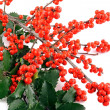 Holly berry on white background — Stock Photo
