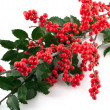 Branch of holly berry on white background — Stock Photo
