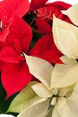 Kırmızı ve beyaz poinsettias — Stok fotoğraf