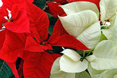 Red and white poinsettia — Stock Photo