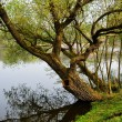 Tree on riverbank — Stock Photo