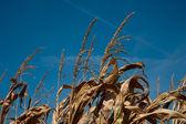Parte superior del tallo del maíz — Foto de Stock
