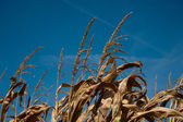 Corn stalk tops — Stock Photo