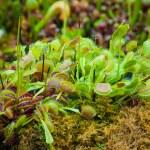 ������, ������: Venus flytrap