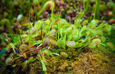 Venus flytrap — Stock Photo