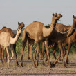 Dromedaries in the Thar desert — Stock Photo