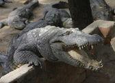Crocodile on a crocodile farm in Chennai, India — Stock Photo