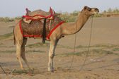 Camel in the desert in Jaisalmer, Rajasthan, India — Stock Photo