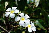 Whiteplumeria — Stock Photo