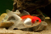 Goldfisch Karpfenfische (Cyprinidae) — Stock Photo