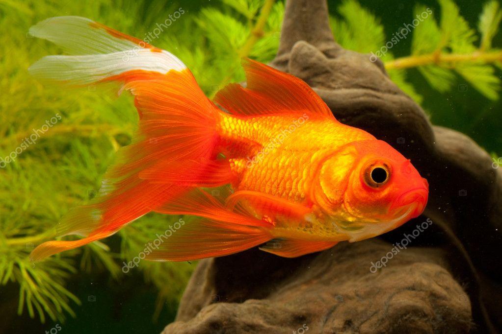 Goldfisch Karpfenfische (Cyprinidae) ? Stock Photo ? Bildergenie ...