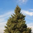 The green fir tree against a background of blue sky — Stock Photo