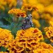 Tagetes and butterfly — Stock Photo #4187403