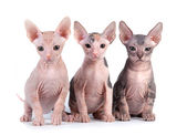 Sphynx kittens with white background — Stock Photo