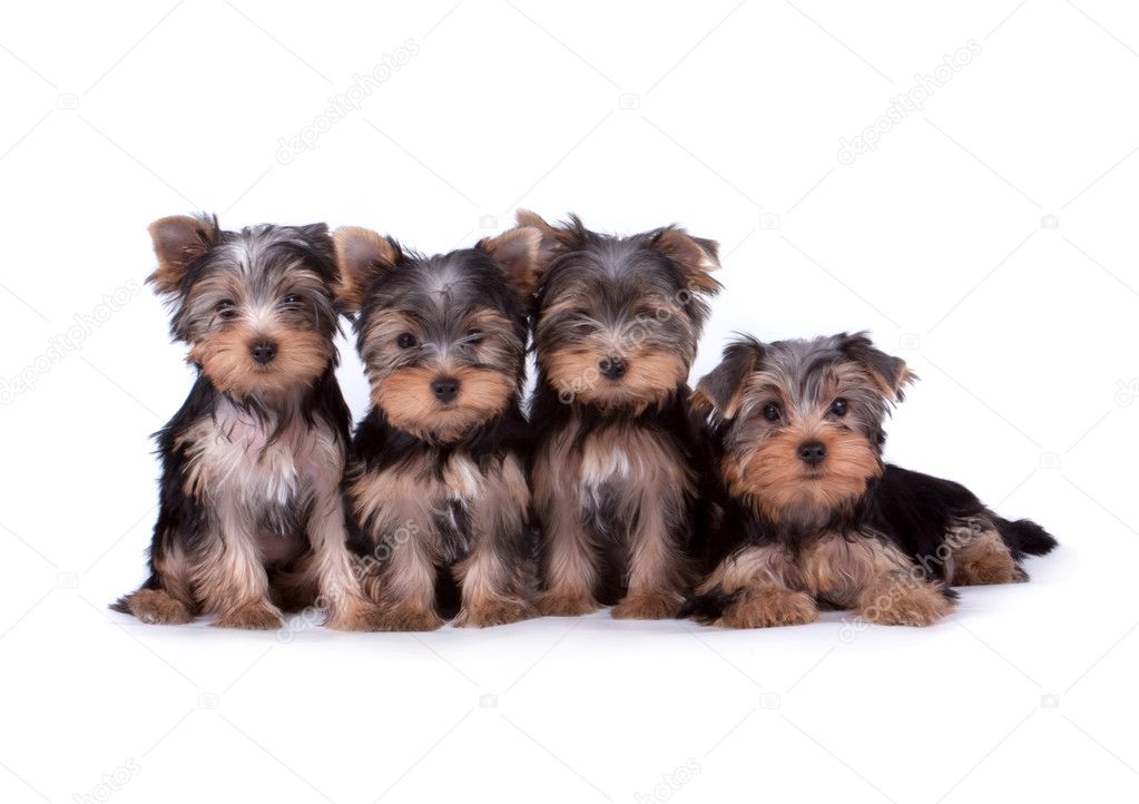 Yorkshire terrier puppy on white background — Stock Photo #4191900