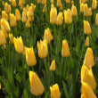 The Yellow tulips  background - Stock Photo