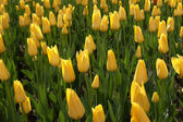 The Yellow tulips background — Stock Photo