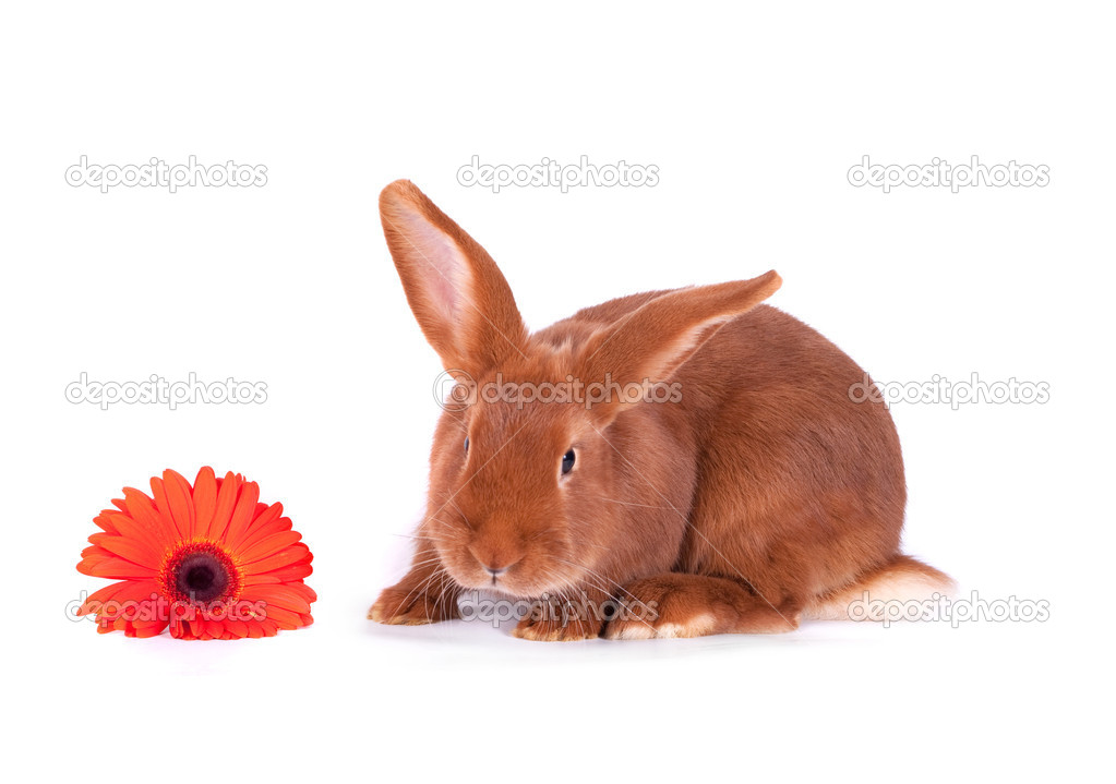 The red rabbit on a white background — Stock Photo #4969774