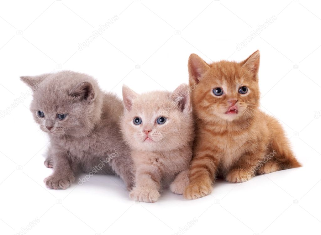 Three British kittens on a white background — Foto Stock #4969777