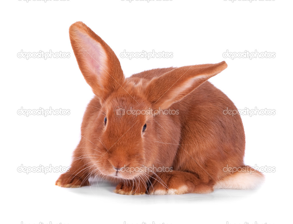 The red rabbit on a white background — Stock Photo #4969783