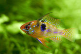 Freshwater aquarium fish hiding in water plants — Stock Photo
