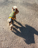 Dog in striped clothes — Stock Photo