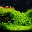 Nature freshwater aquarium in Amano style with little characins - Stock Photo