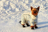 Funny small yorkshire terrier in space suit on his winter walk — Stock Photo