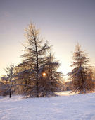 Fir trees covered with snow and ice in winter — Stock Photo