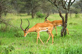 Two impala rams in african savannah — Stock Photo