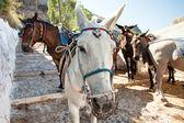 The donkeys on Santorini — Stock Photo