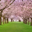 Cherry blossoms plenitude - Stock Photo