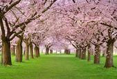Plenitud de cerezos en flor — Foto de Stock