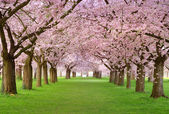 Cherry blossoms plenitude — Stock Photo