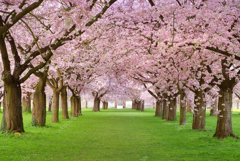 Rows of beautifully blossoming cherry trees on a green lawn — Stock Photo #4158035