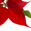 Poinsettia isolated — Stock Photo