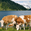 Cows on mountain lake pasture - Stock Photo