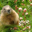 Groundhog in his natural habitat - Stock Photo