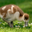 Cute gosling on fresh meadow — Stock Photo