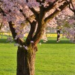 Cherry tree in park — Stock Photo #4305294