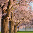 Row of blossoming cherry trees - Stock Photo